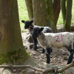 Spring Lambs 2010