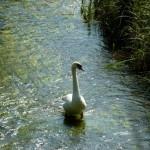 Local Swan!